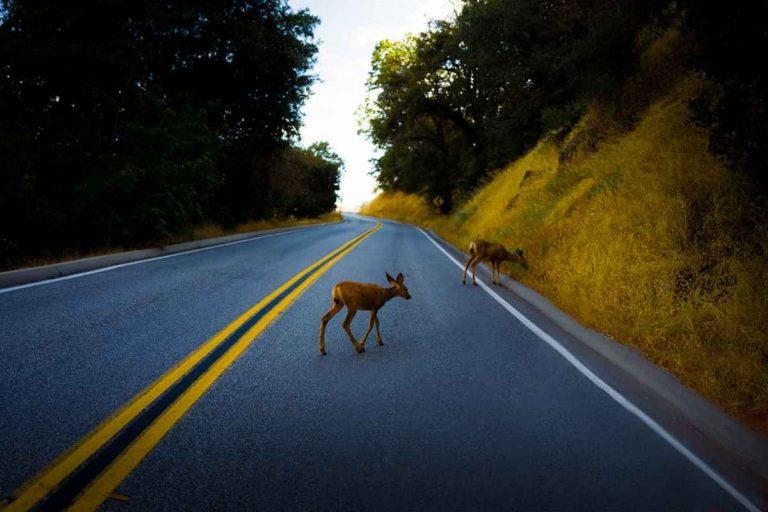 Cómo evitar atropellar animales con su coche